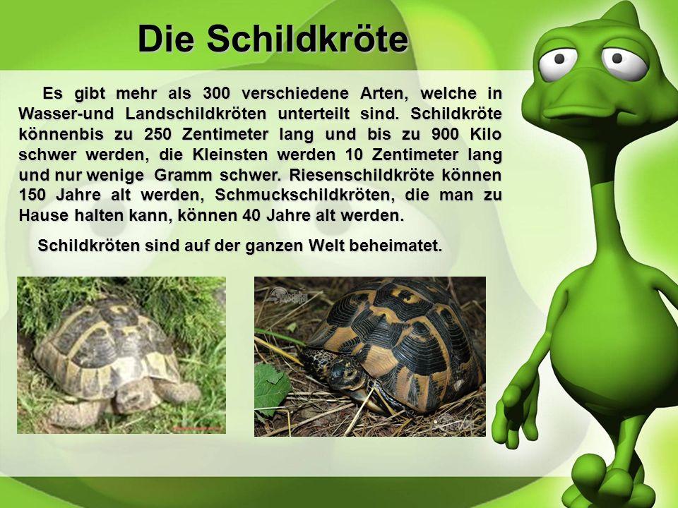 Die Schildkröte Es gibt mehr als 300 verschiedene Arten, welche in Wasser-und Landschildkröten unterteilt sind.