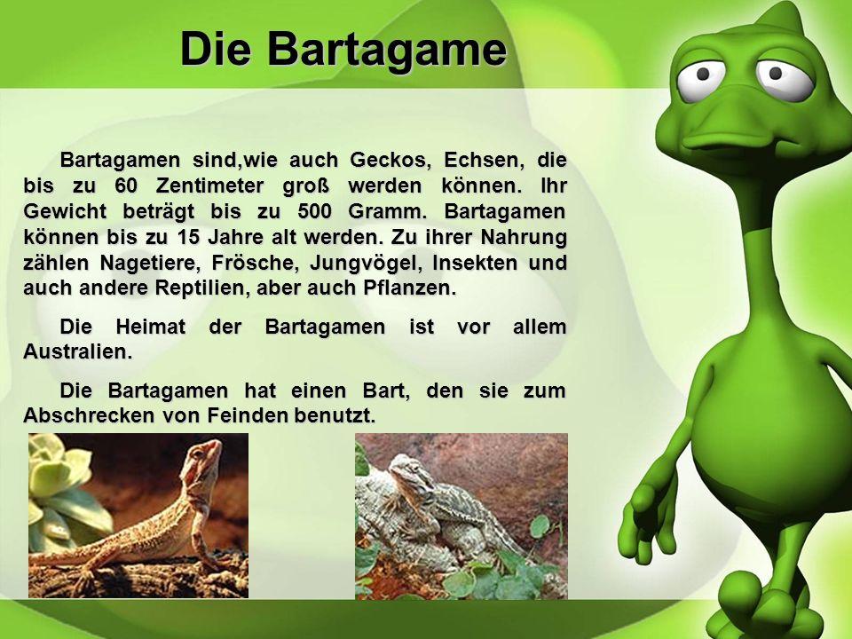 Die Bartagame Bartagamen sind,wie auch Geckos, Echsen, die bis zu 60 Zentimeter groß werden können.