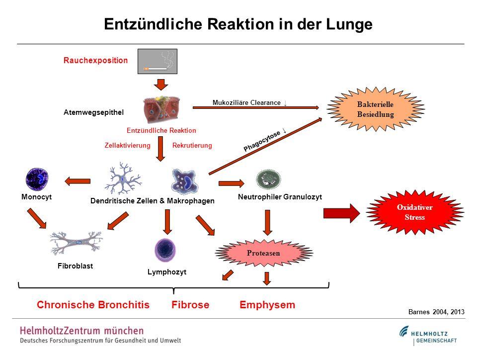 Entzündliche Reaktion in der Lunge Barnes 2004, 2013 Atemwegsepithel Bakterielle Besiedlung Phagocytose Mukoziliäre Clearance Monocyt Neutrophiler Gra