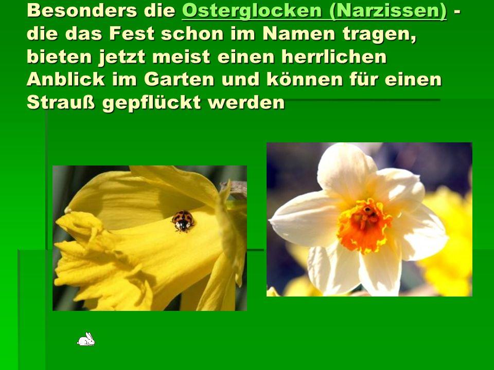 Besonders die Osterglocken (Narzissen) - die das Fest schon im Namen tragen, bieten jetzt meist einen herrlichen Anblick im Garten und können für eine