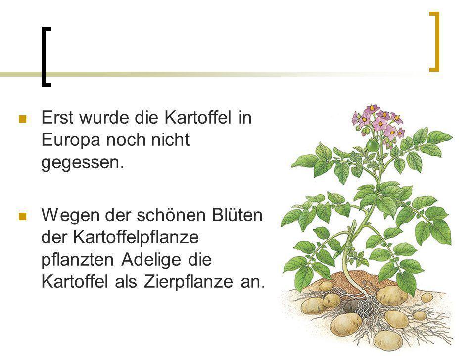 Erst wurde die Kartoffel in Europa noch nicht gegessen. Wegen der schönen Blüten der Kartoffelpflanze pflanzten Adelige die Kartoffel als Zierpflanze