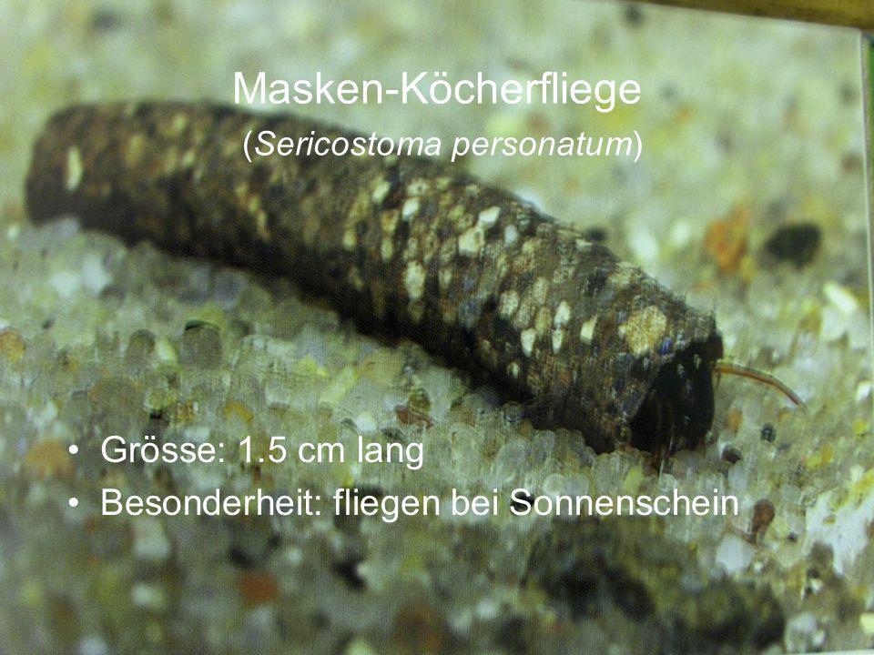 Masken-Köcherfliege (Sericostoma personatum) Grösse: 1.5 cm lang Besonderheit: fliegen bei Sonnenschein