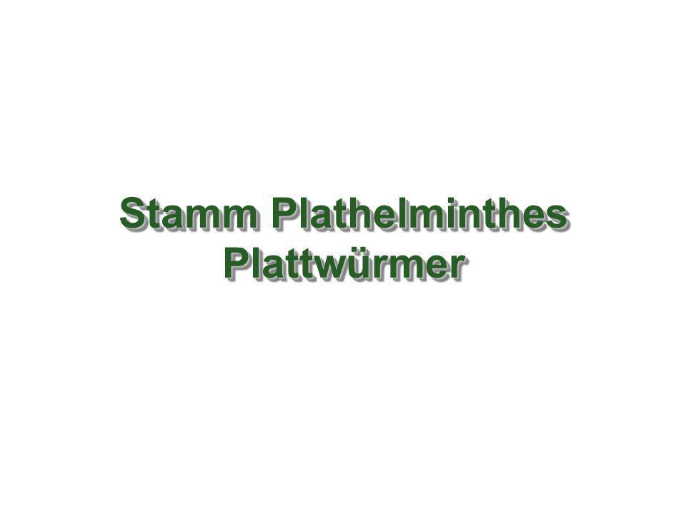 Stamm Plathelminthes Plattwürmer