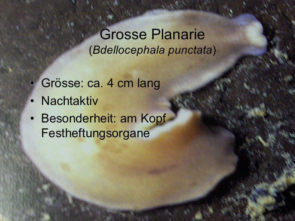 Grosse Planarie (Bdellocephala punctata) Grösse: ca. 4 cm lang Nachtaktiv Besonderheit: am Kopf Festheftungsorgane