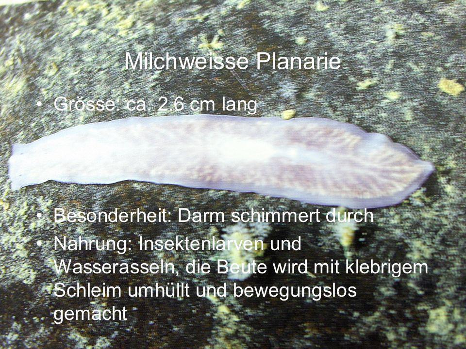 Milchweisse Planarie Grösse: ca. 2.6 cm lang Besonderheit: Darm schimmert durch Nahrung: Insektenlarven und Wasserasseln, die Beute wird mit klebrigem