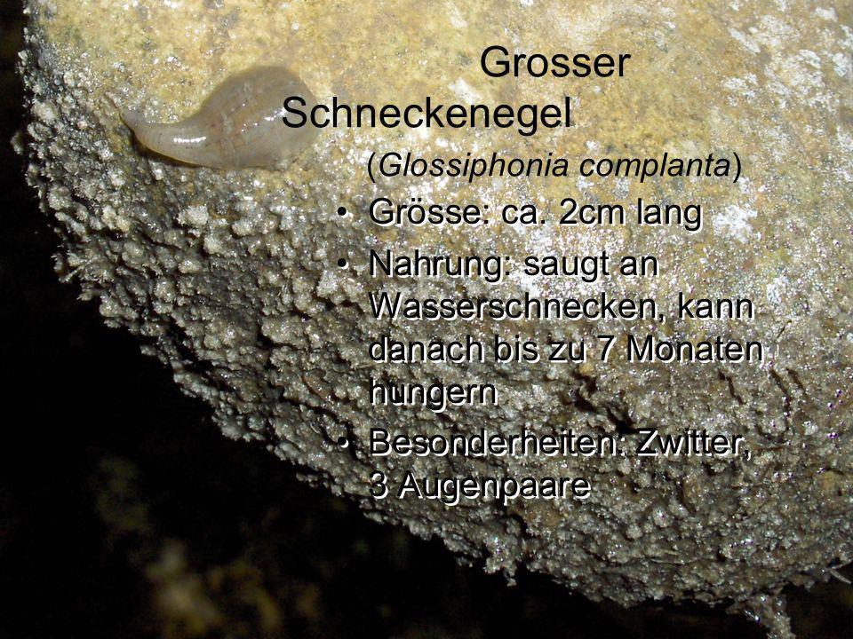 Grosser Schneckenegel (Glossiphonia complanta) Grösse: ca. 2cm lang Nahrung: saugt an Wasserschnecken, kann danach bis zu 7 Monaten hungern Besonderhe
