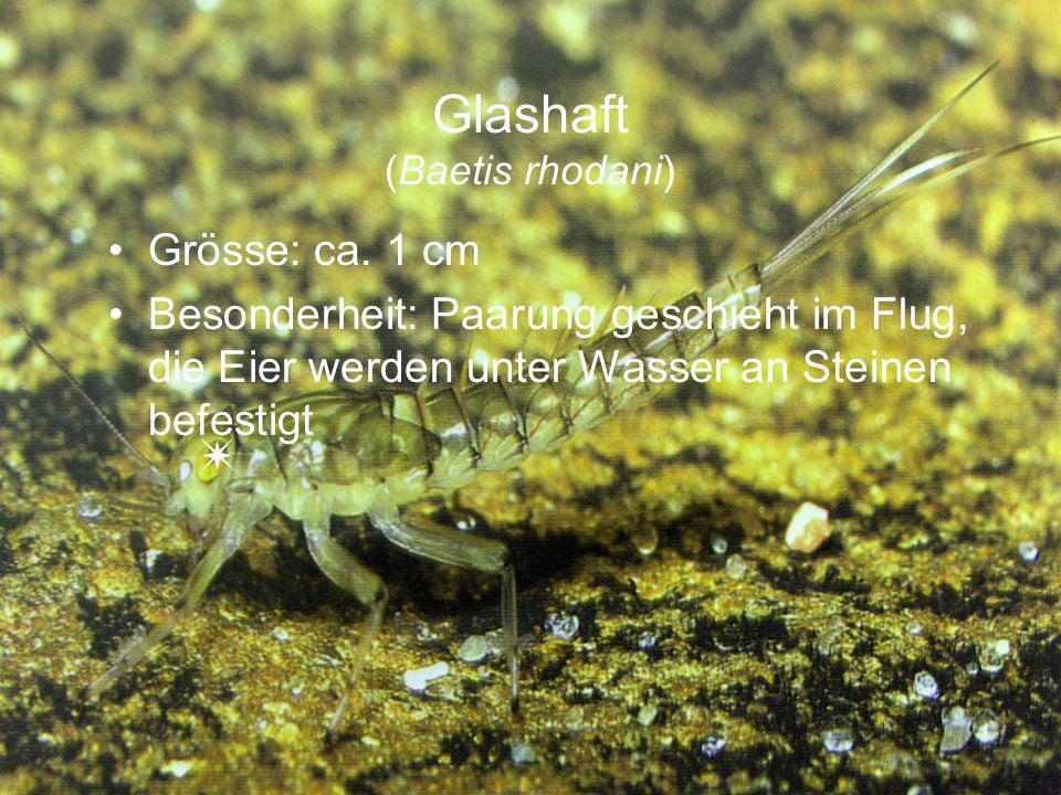 Glashaft (Baetis rhodani) Grösse: ca. 1 cm Besonderheit: Paarung geschieht im Flug, die Eier werden unter Wasser an Steinen befestigt
