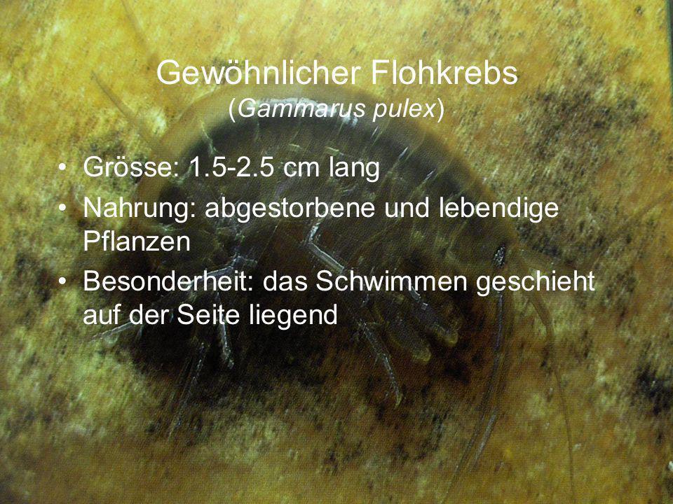 Gewöhnlicher Flohkrebs (Gammarus pulex) Grösse: 1.5-2.5 cm lang Nahrung: abgestorbene und lebendige Pflanzen Besonderheit: das Schwimmen geschieht auf