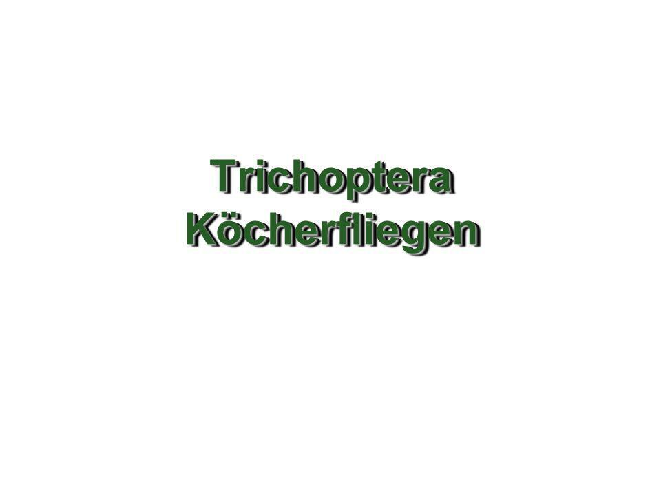Rhyacophila nublia Grösse: ca.