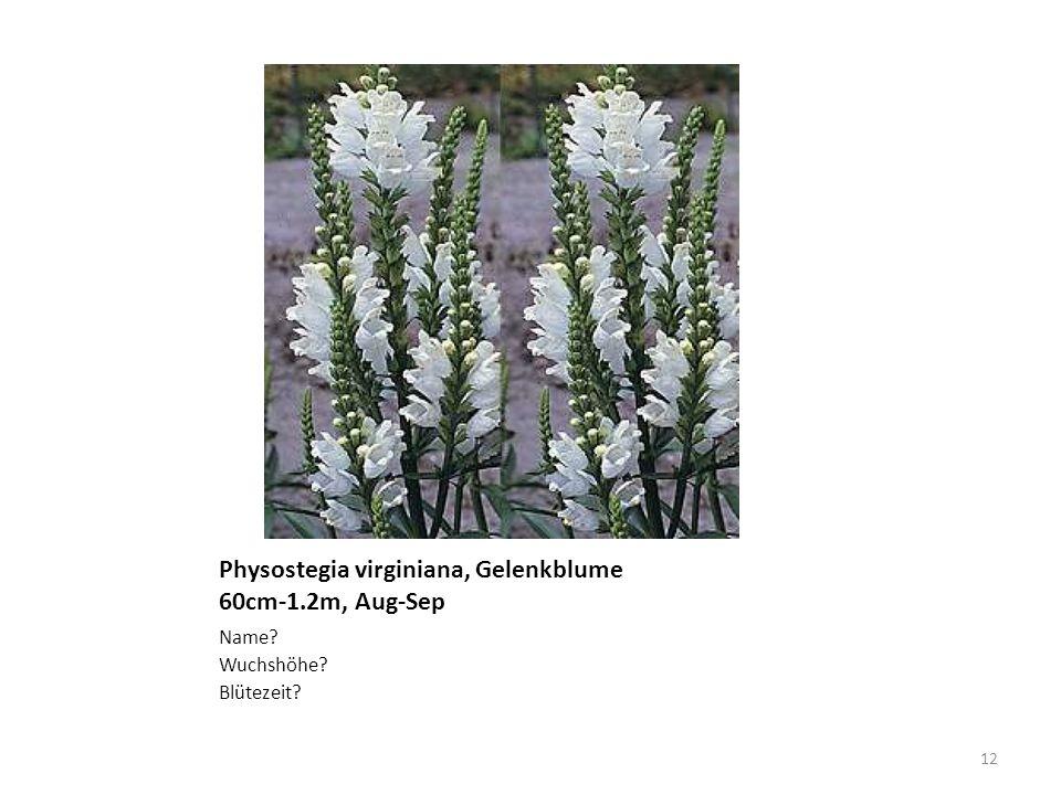 Physostegia virginiana, Gelenkblume 60cm-1.2m, Aug-Sep Name? Wuchshöhe? Blütezeit? 12