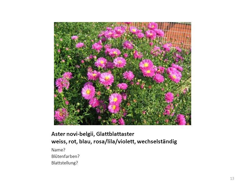 Aster novi-belgii, Glattblattaster weiss, rot, blau, rosa/lila/violett, wechselständig Name? Blütenfarben? Blattstellung? 13