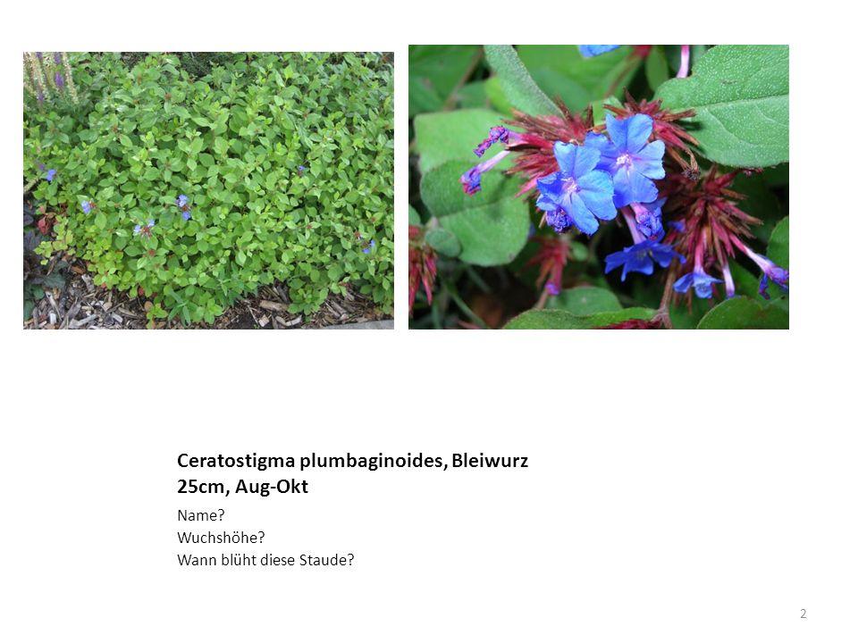 Ceratostigma plumbaginoides, Bleiwurz 25cm, Aug-Okt Name? Wuchshöhe? Wann blüht diese Staude? 2