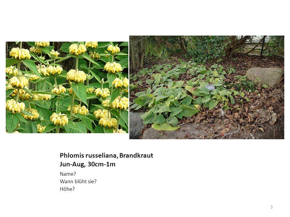 Deschampsia cespitosa, Rasenschmiele gerippt, 60cm-1m Name? Auffälliges am Blatt? Höhe? 14