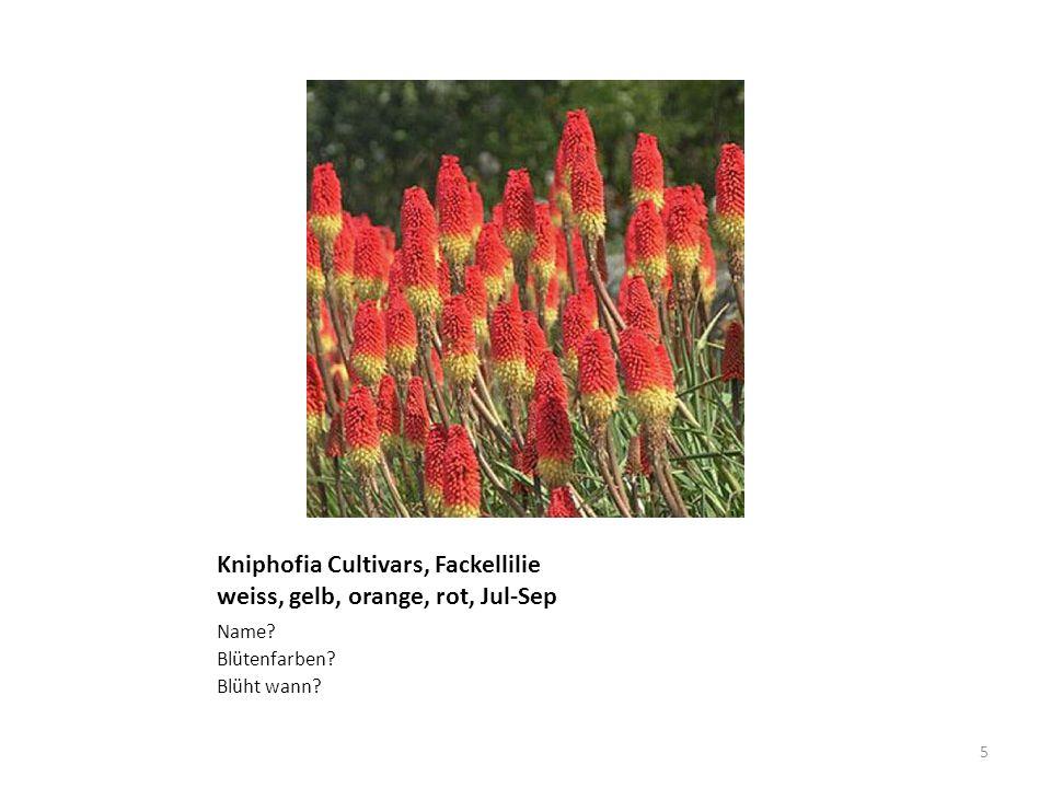 Kniphofia Cultivars, Fackellilie weiss, gelb, orange, rot, Jul-Sep Name? Blütenfarben? Blüht wann? 5