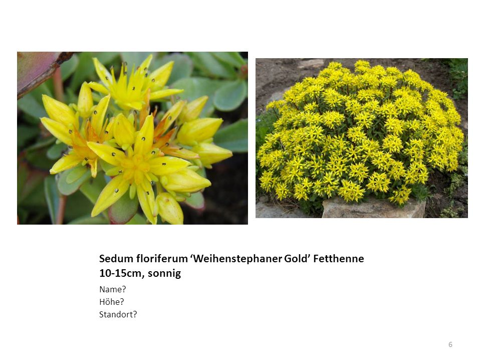 Sedum floriferum Weihenstephaner Gold Fetthenne 10-15cm, sonnig Name? Höhe? Standort? 6