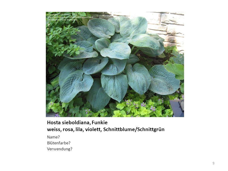 Hosta sieboldiana, Funkie weiss, rosa, lila, violett, Schnittblume/Schnittgrün Name? Blütenfarbe? Verwendung? 9
