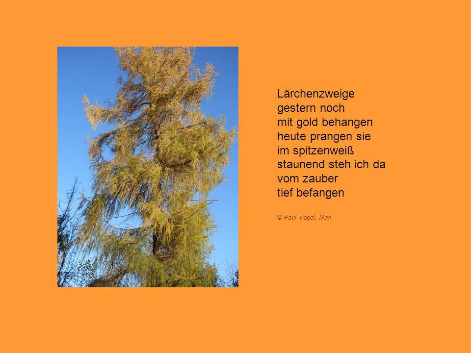 Lärchenzweige gestern noch mit gold behangen heute prangen sie im spitzenweiß staunend steh ich da vom zauber tief befangen © Paul Vogel, Marl