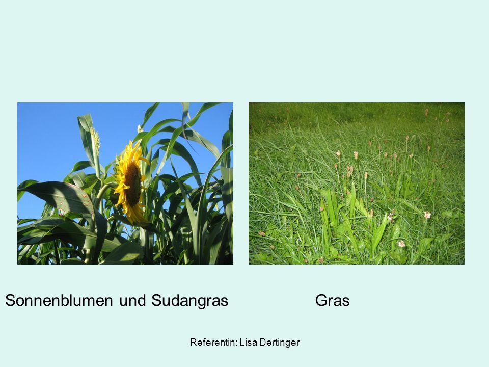 Referentin: Lisa Dertinger Sonnenblumen und SudangrasGras