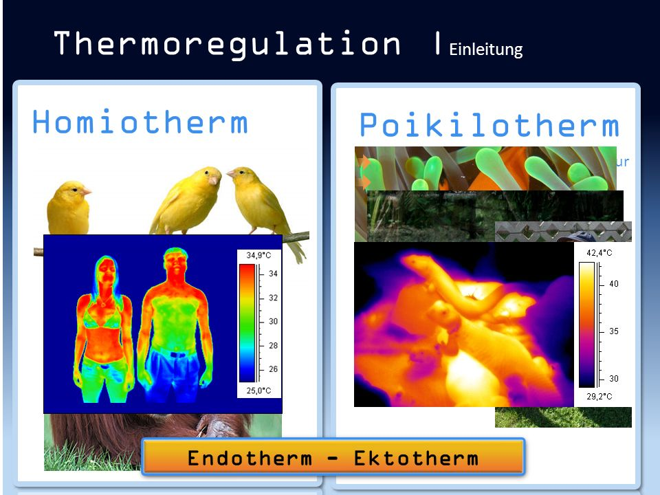 Thermoregulation | Regulationsmechanismen Wärmebildung
