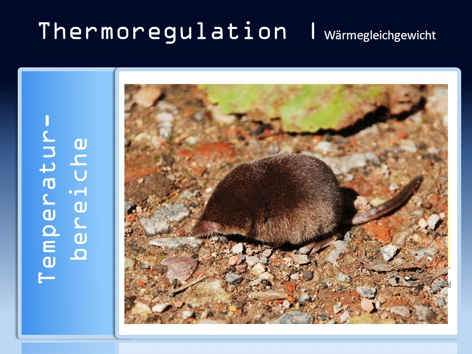 Thermoregulation | Wärmegleichgewicht Temperatur- bereiche Organismus bzw. Körperteil A/V [cm –1 ] Gesa mt Teil Mensch Erwachsener0,2 Rumpf0,1 Hand1,0