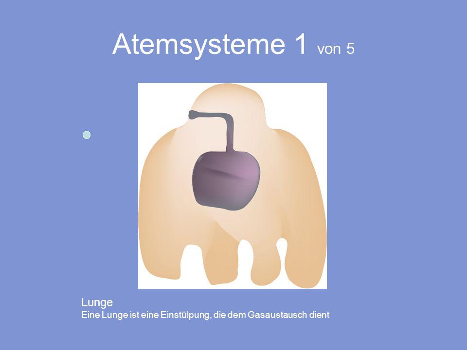 Atemsysteme 1 von 5 Lunge Eine Lunge ist eine Einstülpung, die dem Gasaustausch dient