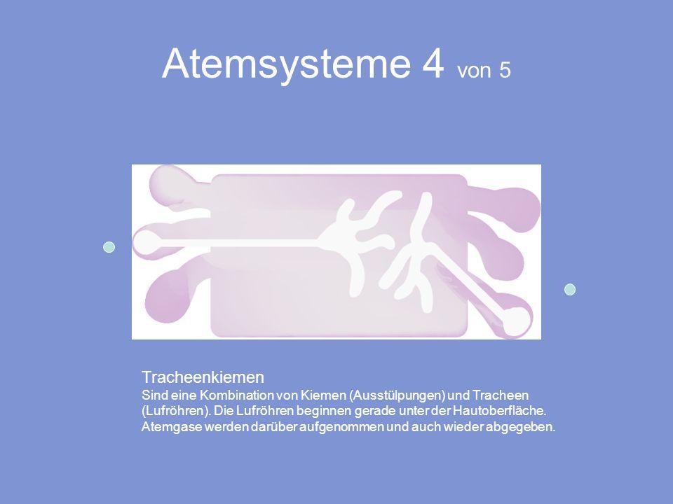 Atemsysteme 4 von 5 Tracheenkiemen Sind eine Kombination von Kiemen (Ausstülpungen) und Tracheen (Lufröhren). Die Lufröhren beginnen gerade unter der