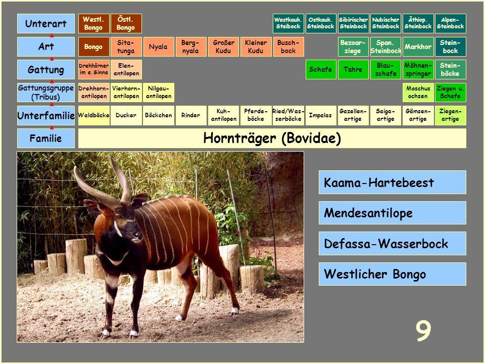 Hornträger (Bovidae) Böckchen Vierhorn- antilopen Familie Unterfamilie Gattungsgruppe (Tribus) Art Gattung Ducker 8 Nilgau- antilopen Ziegen u. Schafe