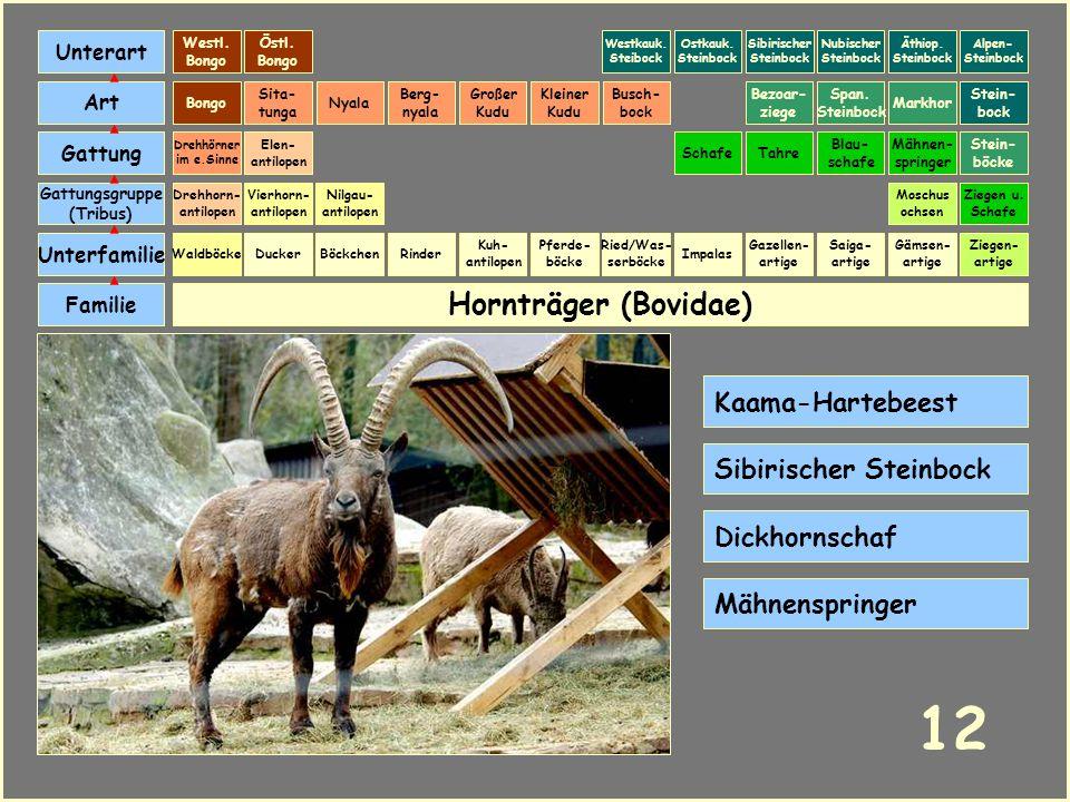 Hornträger (Bovidae) Böckchen Vierhorn- antilopen Familie Unterfamilie Gattungsgruppe (Tribus) Art Gattung Ducker 11 Nilgau- antilopen Ziegen u. Schaf