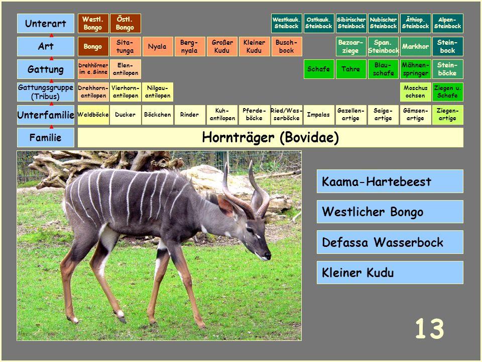 Hornträger (Bovidae) Böckchen Vierhorn- antilopen Familie Unterfamilie Gattungsgruppe (Tribus) Art Gattung Ducker 12 Nilgau- antilopen Ziegen u. Schaf