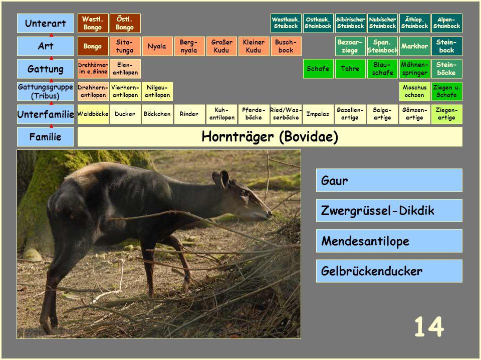 Hornträger (Bovidae) Böckchen Vierhorn- antilopen Familie Unterfamilie Gattungsgruppe (Tribus) Art Gattung Ducker 13 Nilgau- antilopen Ziegen u. Schaf