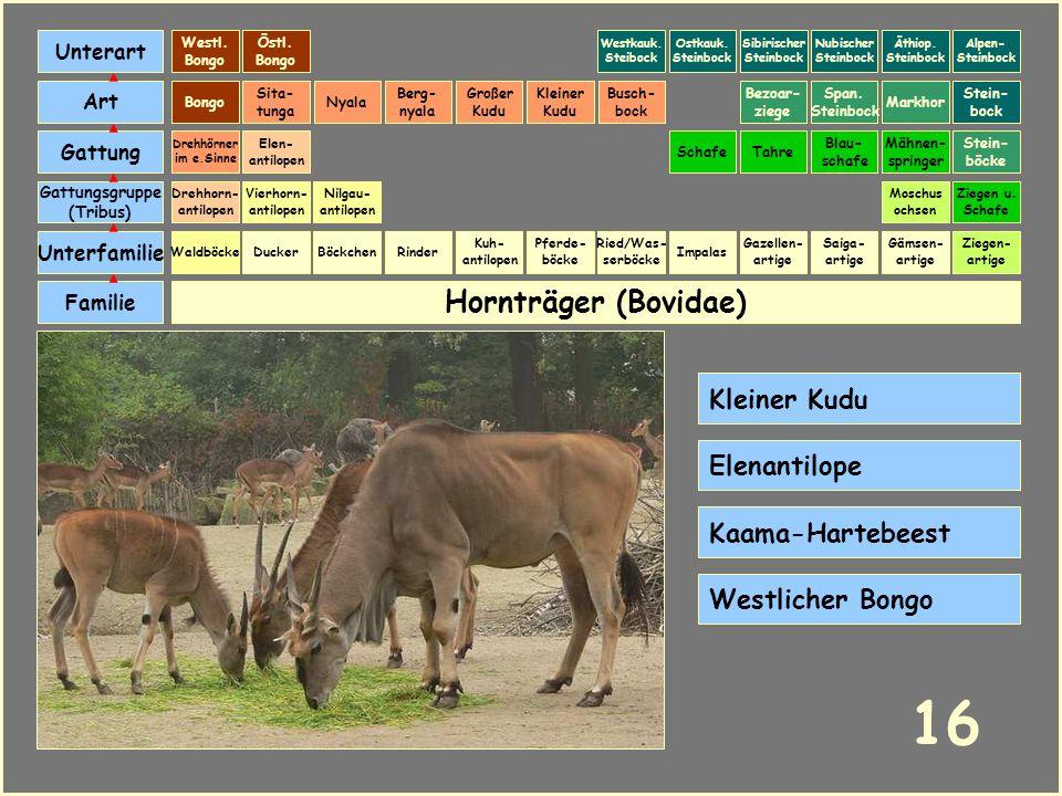 Hornträger (Bovidae) Böckchen Vierhorn- antilopen Familie Unterfamilie Gattungsgruppe (Tribus) Art Gattung Ducker 15 Nilgau- antilopen Ziegen u. Schaf