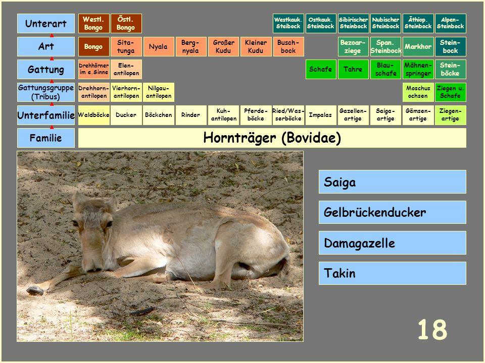 Hornträger (Bovidae) Böckchen Vierhorn- antilopen Familie Unterfamilie Gattungsgruppe (Tribus) Art Gattung Ducker 17 Nilgau- antilopen Ziegen u. Schaf