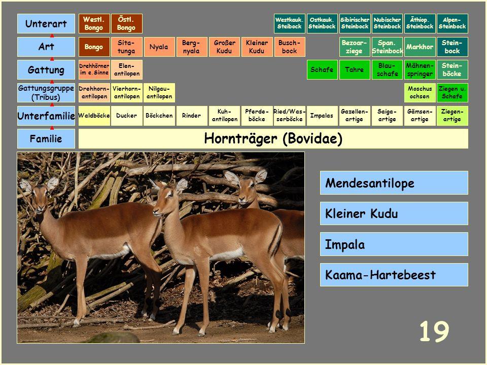 Hornträger (Bovidae) Böckchen Vierhorn- antilopen Familie Unterfamilie Gattungsgruppe (Tribus) Art Gattung Ducker 18 Nilgau- antilopen Ziegen u. Schaf