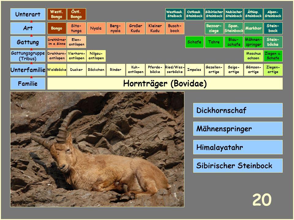 Hornträger (Bovidae) Böckchen Vierhorn- antilopen Familie Unterfamilie Gattungsgruppe (Tribus) Art Gattung Ducker 19 Nilgau- antilopen Ziegen u. Schaf