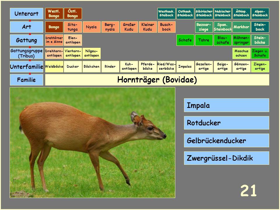 Hornträger (Bovidae) Böckchen Vierhorn- antilopen Familie Unterfamilie Gattungsgruppe (Tribus) Art Gattung Ducker 20 Nilgau- antilopen Ziegen u. Schaf