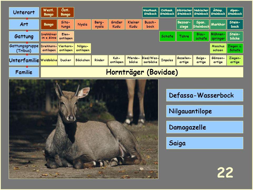 Hornträger (Bovidae) Böckchen Vierhorn- antilopen Familie Unterfamilie Gattungsgruppe (Tribus) Art Gattung Ducker 21 Nilgau- antilopen Ziegen u. Schaf