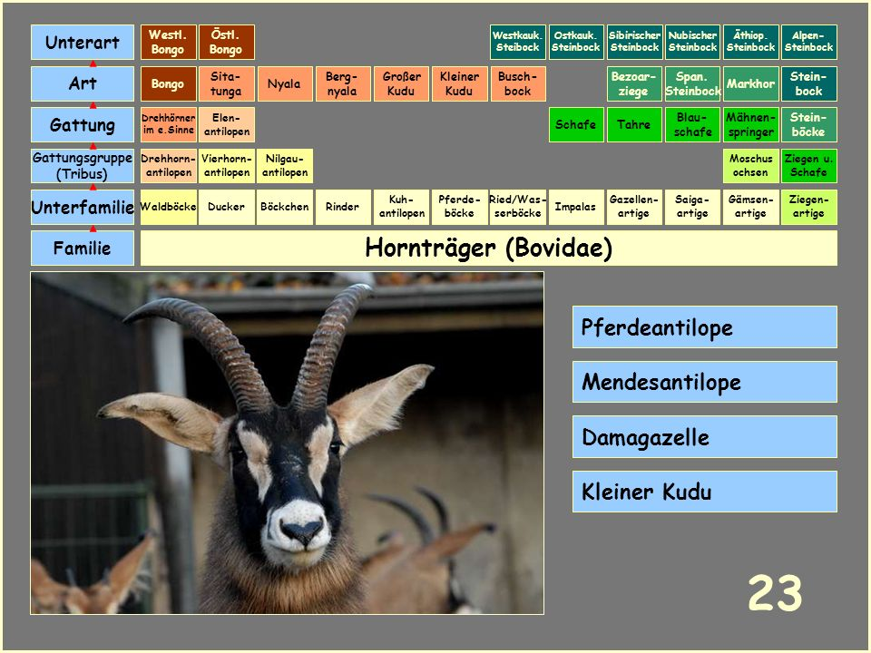 Hornträger (Bovidae) Böckchen Vierhorn- antilopen Familie Unterfamilie Gattungsgruppe (Tribus) Art Gattung Ducker 22 Nilgau- antilopen Ziegen u. Schaf