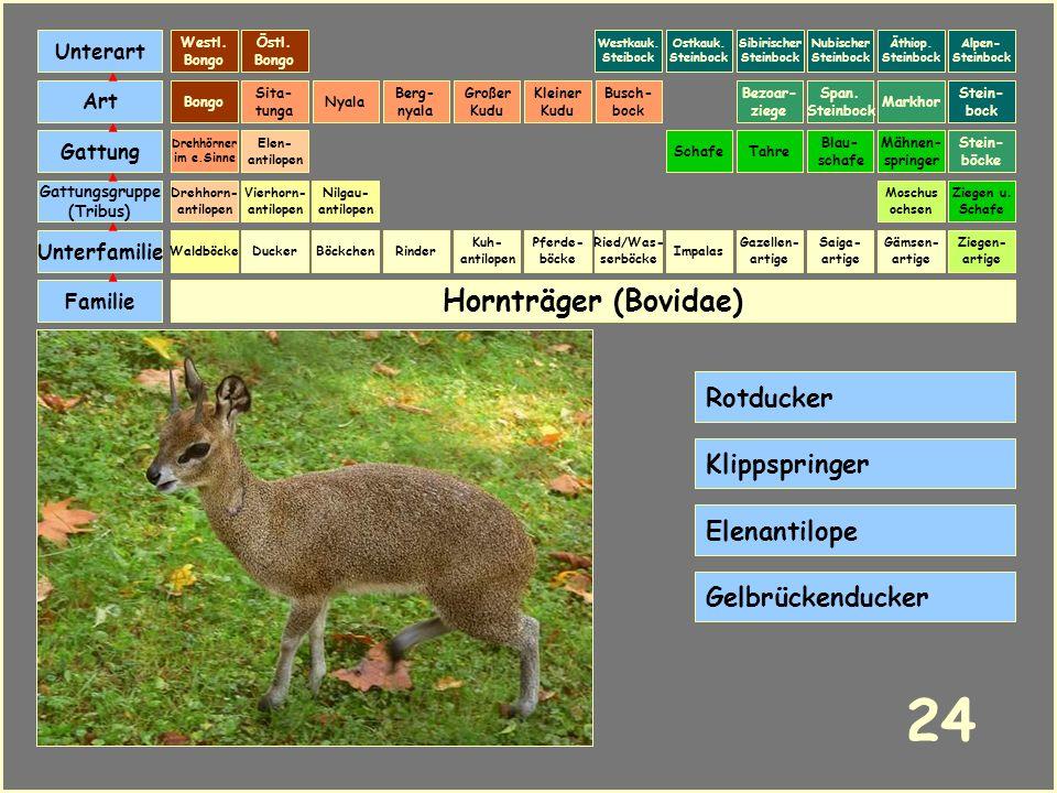 Hornträger (Bovidae) Böckchen Vierhorn- antilopen Familie Unterfamilie Gattungsgruppe (Tribus) Art Gattung Ducker 23 Nilgau- antilopen Ziegen u. Schaf