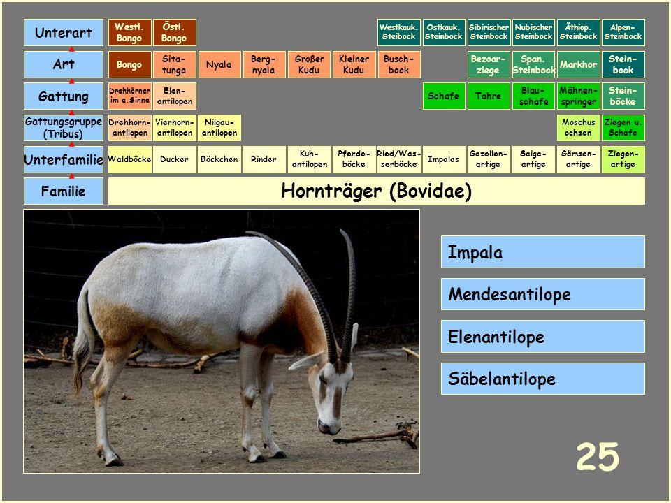 Hornträger (Bovidae) Böckchen Vierhorn- antilopen Familie Unterfamilie Gattungsgruppe (Tribus) Art Gattung Ducker 24 Nilgau- antilopen Ziegen u. Schaf