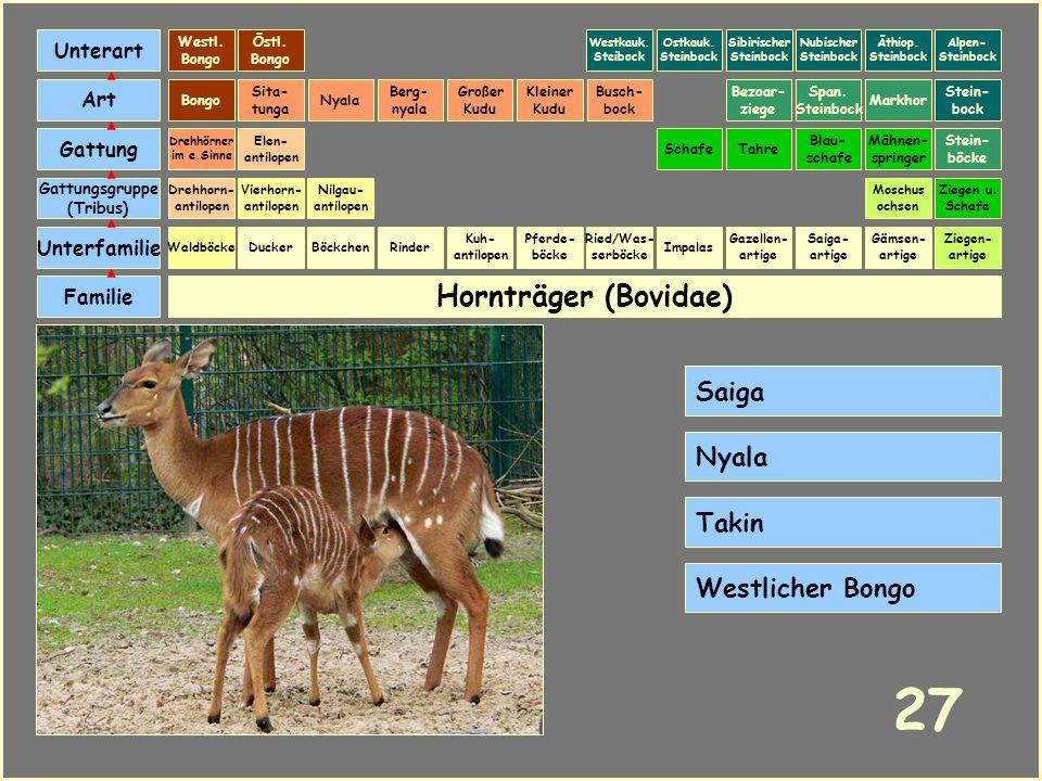 Hornträger (Bovidae) Böckchen Vierhorn- antilopen Familie Unterfamilie Gattungsgruppe (Tribus) Art Gattung Ducker 26 Nilgau- antilopen Ziegen u. Schaf