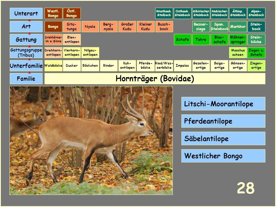 Hornträger (Bovidae) Böckchen Vierhorn- antilopen Familie Unterfamilie Gattungsgruppe (Tribus) Art Gattung Ducker 27 Nilgau- antilopen Ziegen u. Schaf