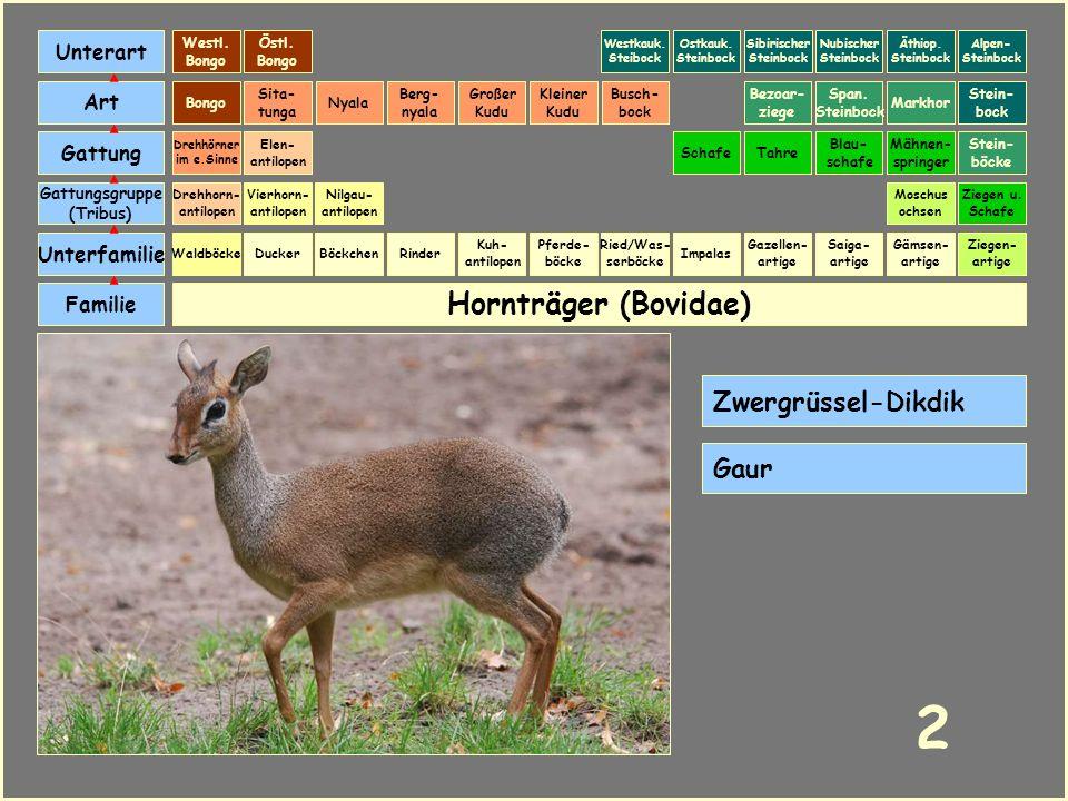Hornträger (Bovidae) Böckchen Vierhorn- antilopen Familie Unterfamilie Gattungsgruppe (Tribus) Art Gattung Ducker 1 Nilgau- antilopen Ziegen u. Schafe