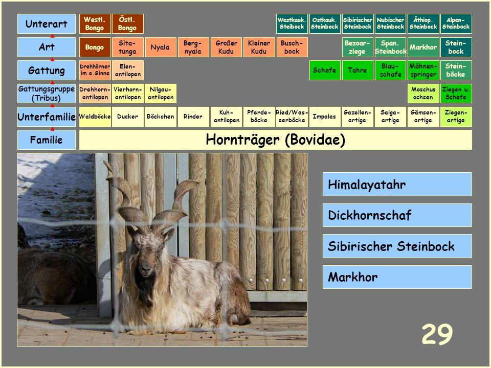 Hornträger (Bovidae) Böckchen Vierhorn- antilopen Familie Unterfamilie Gattungsgruppe (Tribus) Art Gattung Ducker 28 Nilgau- antilopen Ziegen u. Schaf
