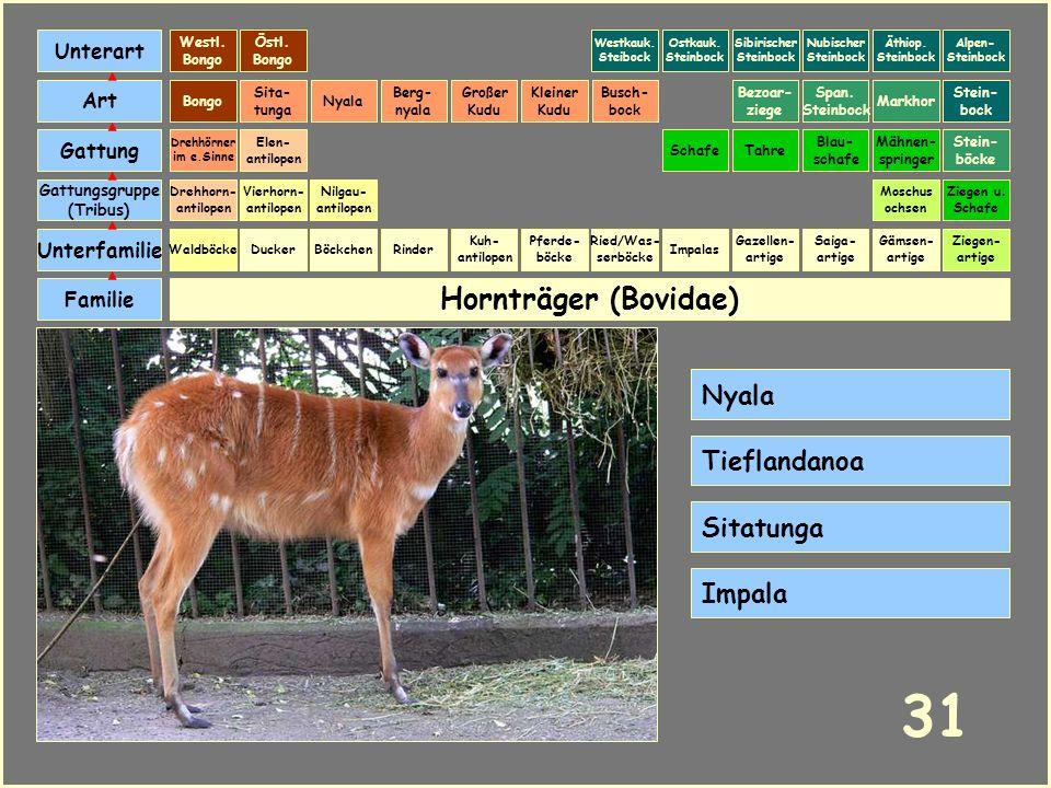 Hornträger (Bovidae) Böckchen Vierhorn- antilopen Familie Unterfamilie Gattungsgruppe (Tribus) Art Gattung Ducker 30 Nilgau- antilopen Ziegen u. Schaf
