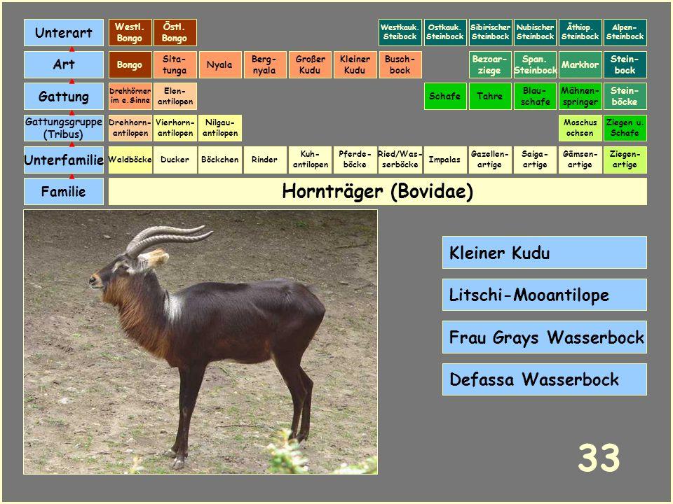 Hornträger (Bovidae) Böckchen Vierhorn- antilopen Familie Unterfamilie Gattungsgruppe (Tribus) Art Gattung Ducker 32 Nilgau- antilopen Ziegen u. Schaf
