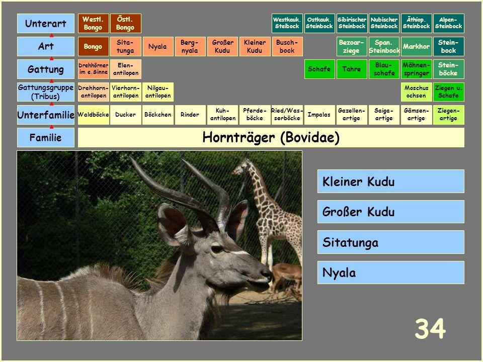 Hornträger (Bovidae) Böckchen Vierhorn- antilopen Familie Unterfamilie Gattungsgruppe (Tribus) Art Gattung Ducker 33 Nilgau- antilopen Ziegen u. Schaf
