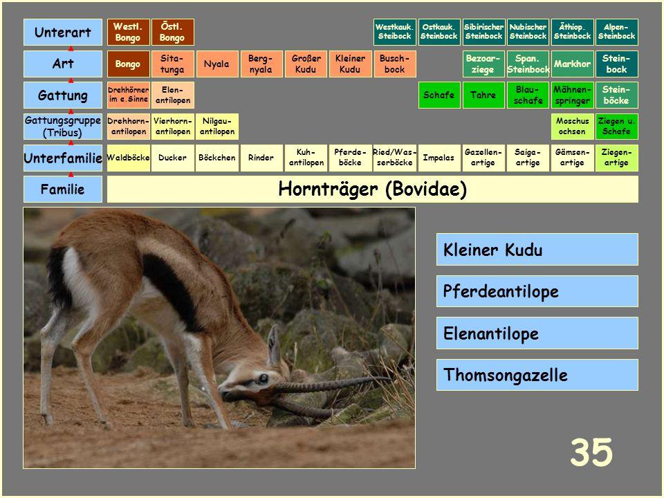 Hornträger (Bovidae) Böckchen Vierhorn- antilopen Familie Unterfamilie Gattungsgruppe (Tribus) Art Gattung Ducker 34 Nilgau- antilopen Ziegen u. Schaf