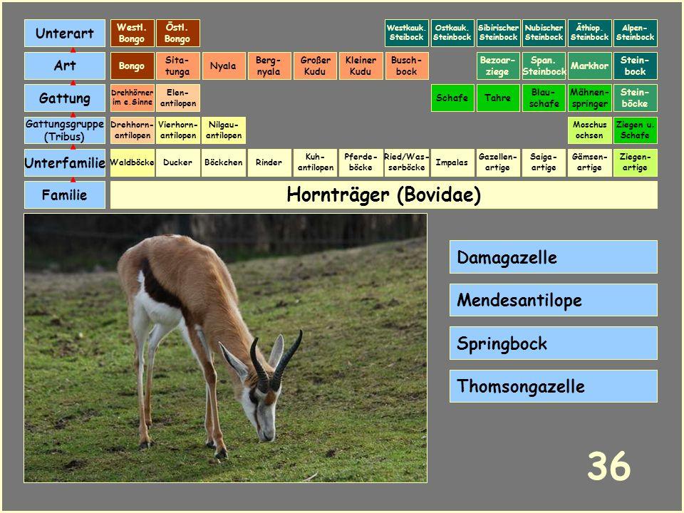 Hornträger (Bovidae) Böckchen Vierhorn- antilopen Familie Unterfamilie Gattungsgruppe (Tribus) Art Gattung Ducker 35 Nilgau- antilopen Ziegen u. Schaf