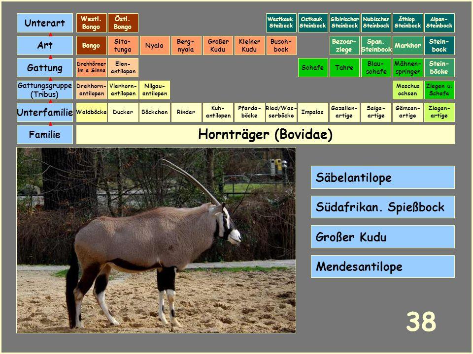 Hornträger (Bovidae) Böckchen Vierhorn- antilopen Familie Unterfamilie Gattungsgruppe (Tribus) Art Gattung Ducker 37 Nilgau- antilopen Ziegen u. Schaf