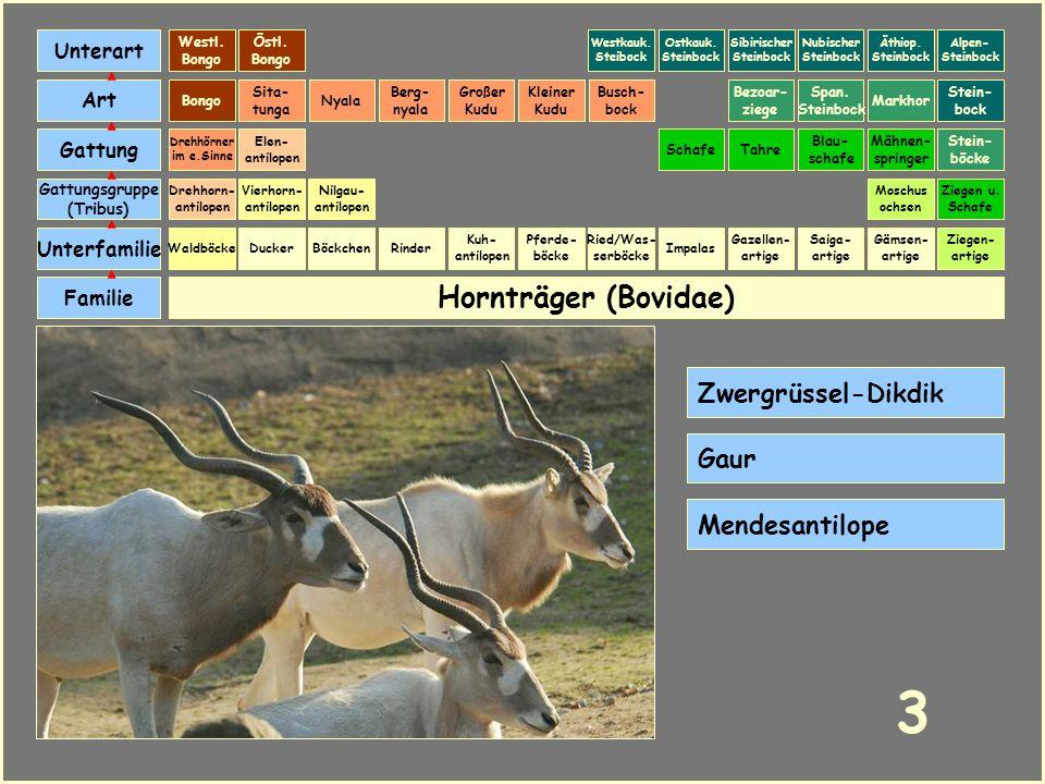 Hornträger (Bovidae) Böckchen Vierhorn- antilopen Familie Unterfamilie Gattungsgruppe (Tribus) Art Gattung Ducker 23 Nilgau- antilopen Ziegen u.